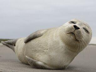 Na plaży leży foka. Ma ona otwarte oczy.