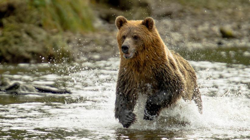 Niedźwiedź pląsający po lesie