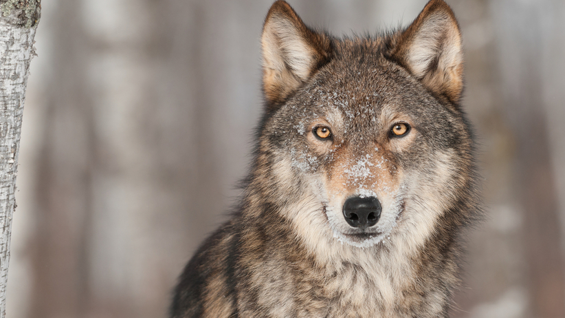 Czy wilk  we śnie zawsze oznacza niebezpieczeństwo? Przekonaj się!