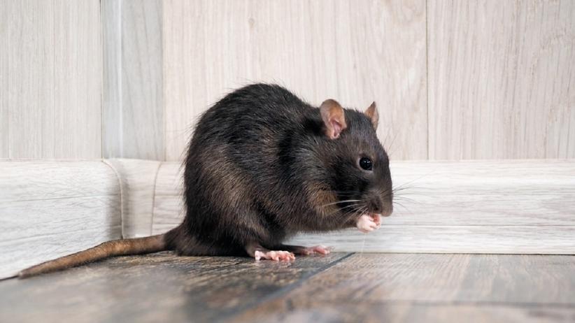 Sennik: szczur