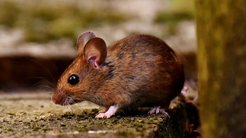sen o myszy