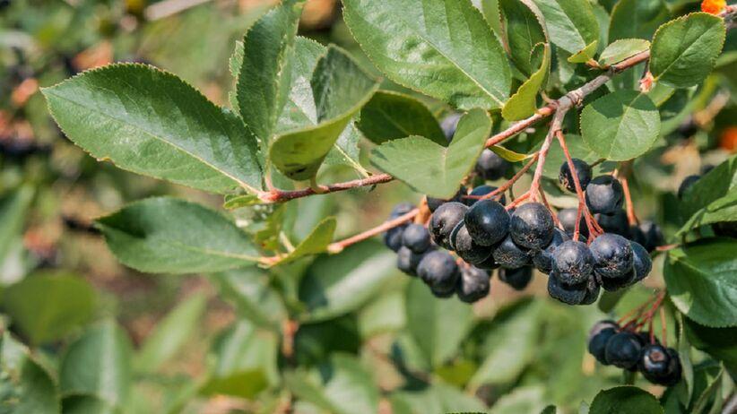Aronia czarna krzew