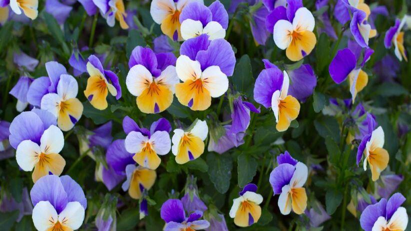 Bratki to kwiaty o różnorodnym zastosowaniu.