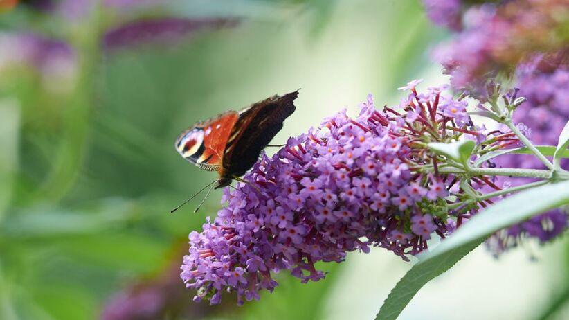 Budleja Dawida przyciąga motyle.