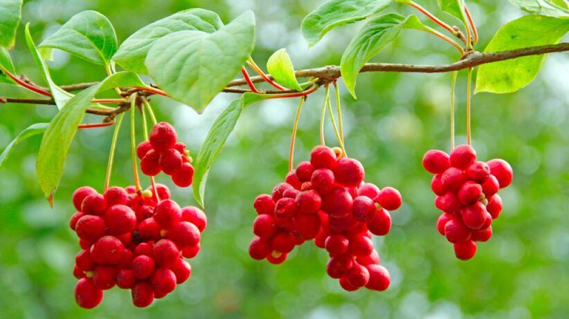cytryniec chiński roślina