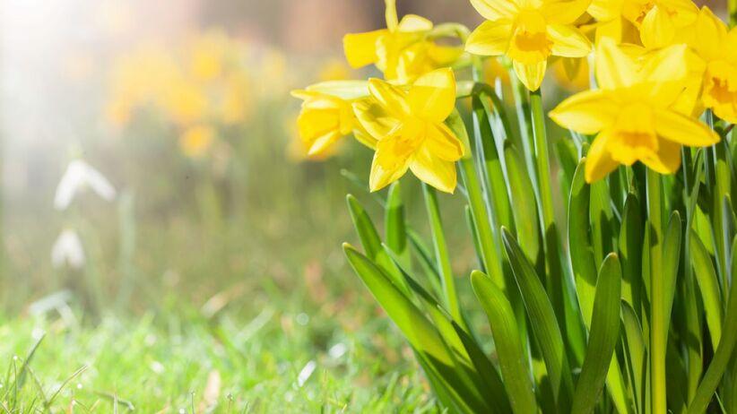 Kwiaty na Wielkanoc - żonkile.