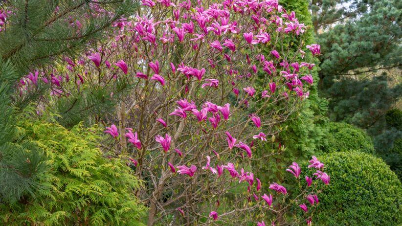 Magnolia Susan to niezwykle dekoracyjna roślina.