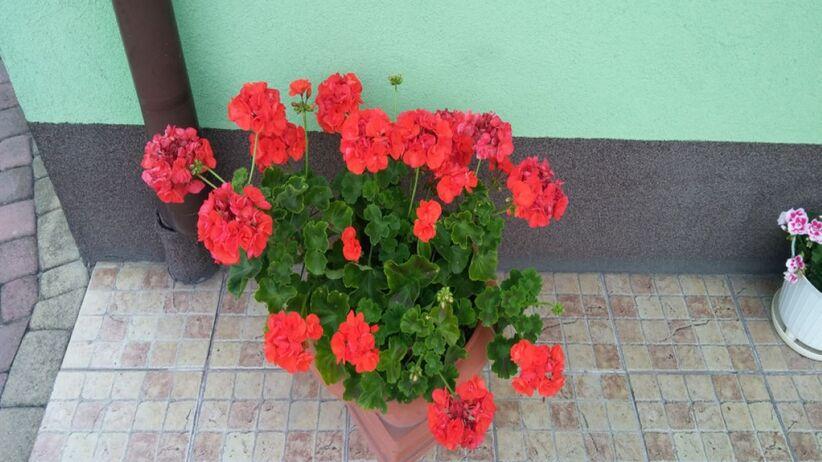 Pelargonie to niezwykle popularne kwiaty