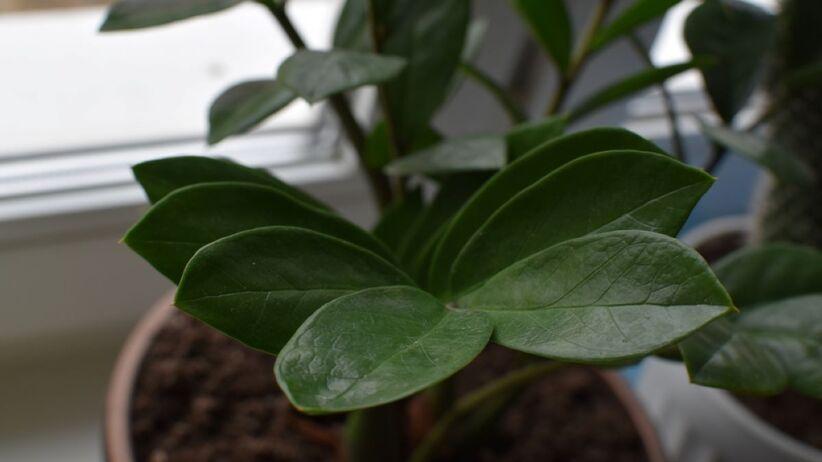 Zamiokulkas to jedna z roślin cieniolubnych.