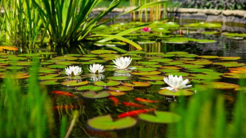 Jakie rośliny do oczka wodnego wybrać?