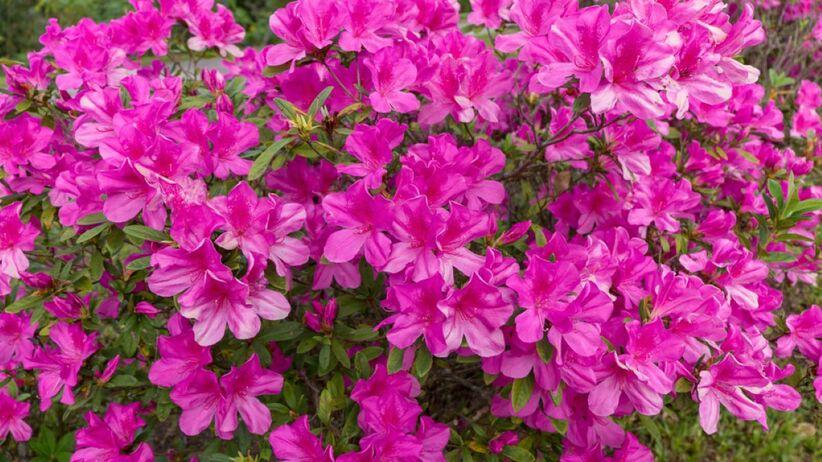 Różanecznik to niezwykle ozdobna roślina.
