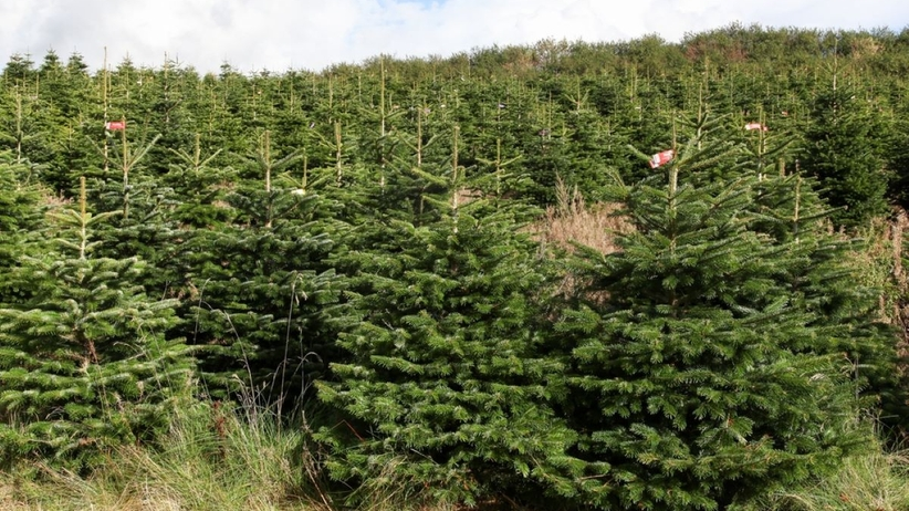 Jodła kaukaska jest często wybierana jako drzewko bożonarodzeniowe.
