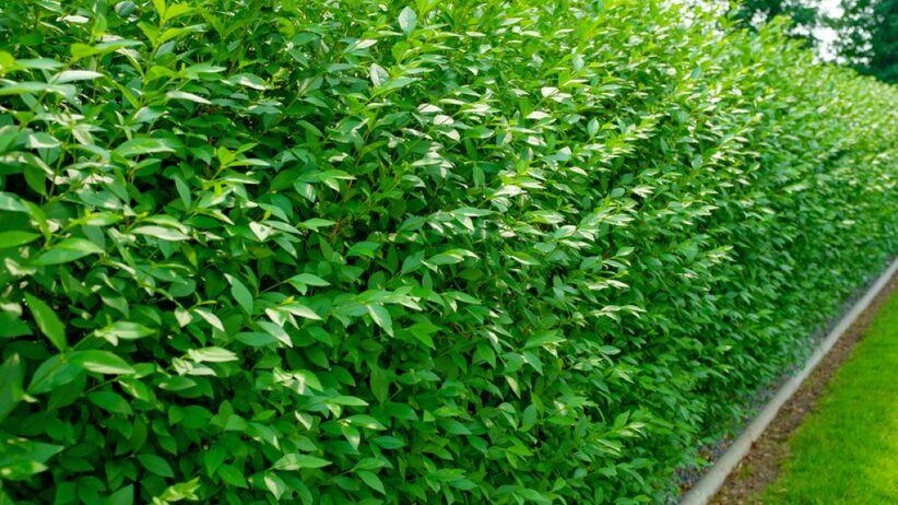 Ligustr to krzew, który jest często wybierany na żywopłoty.