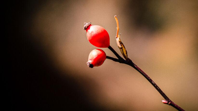 Zimowe przetwory z dzikiej róży. Zainspiruj się naszymi przepisami!
