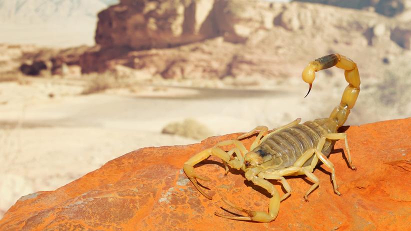 Skorpion na czerwonym piasku