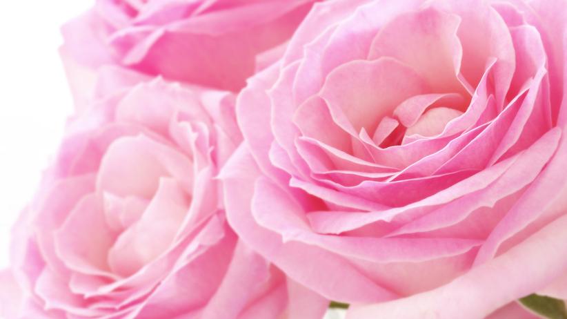 Zbliżenie na róże