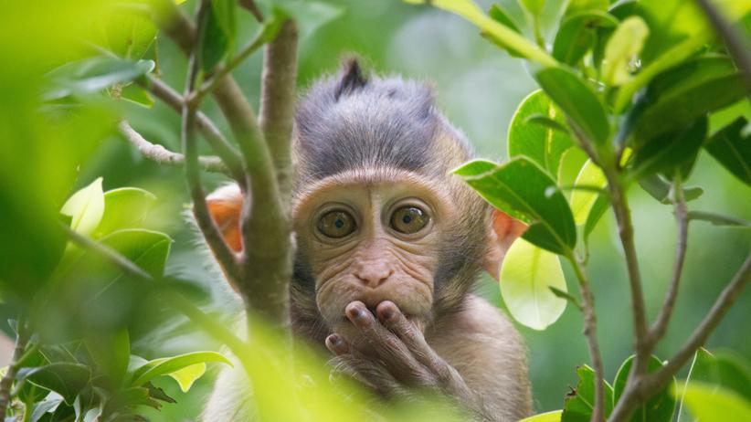 Małpka chowająca się za liśćmi