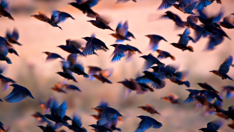 Zbliżenie na czarno-niebieskie ptaki