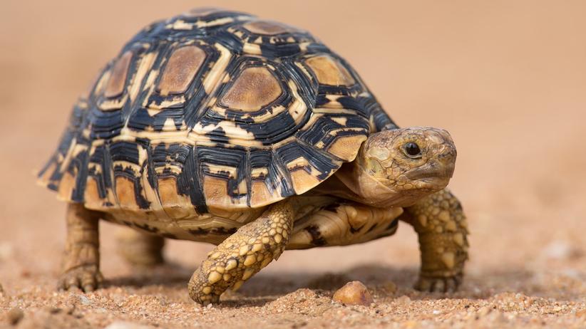 Żółw na piasku
