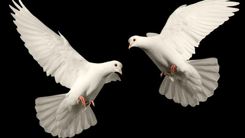biały gołąb symbol szczęścia